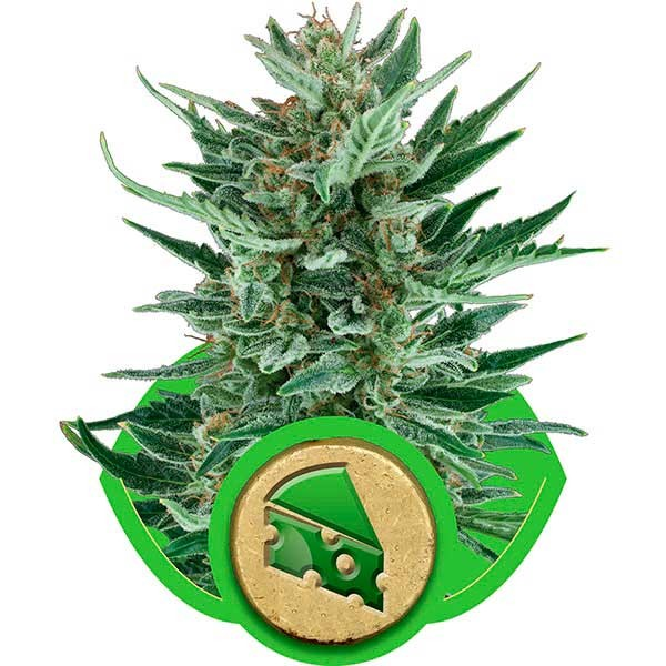Royal Cheese Automatic - Royal Queen Seeds - Seed Banks