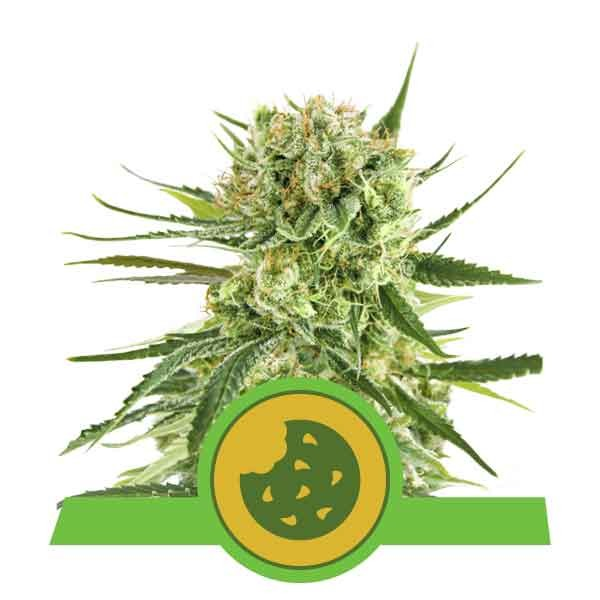 Royal Cookies Automatic - Royal Queen Seeds - Seed Banks
