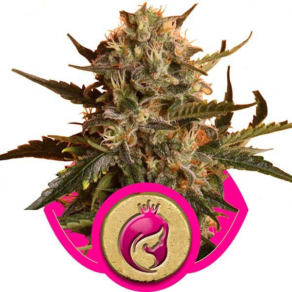 Royal Madre - Royal Queen Seeds - Seed Banks