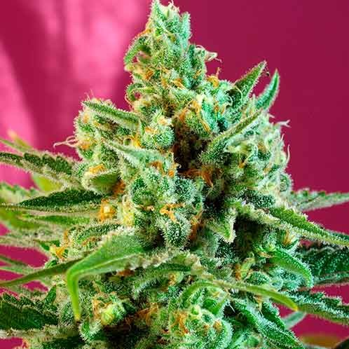 S.A.D. Sweet Afgani Delicious CBD - Sweet Seeds - Seed Banks