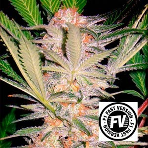 S.A.D. FAST VERSION - Sweet Seeds - Seed Banks