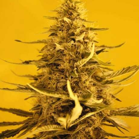 White Widow Auto 5 Seeds - Nirvana - Seed Banks