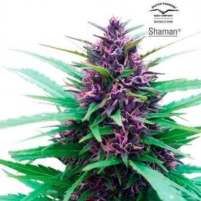 SHAMAN - Dutch Passion - Seed Banks