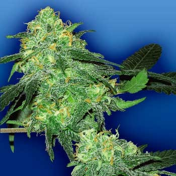 Skunk Classic - 5 seeds - Flying Dutchmen - Seed Banks