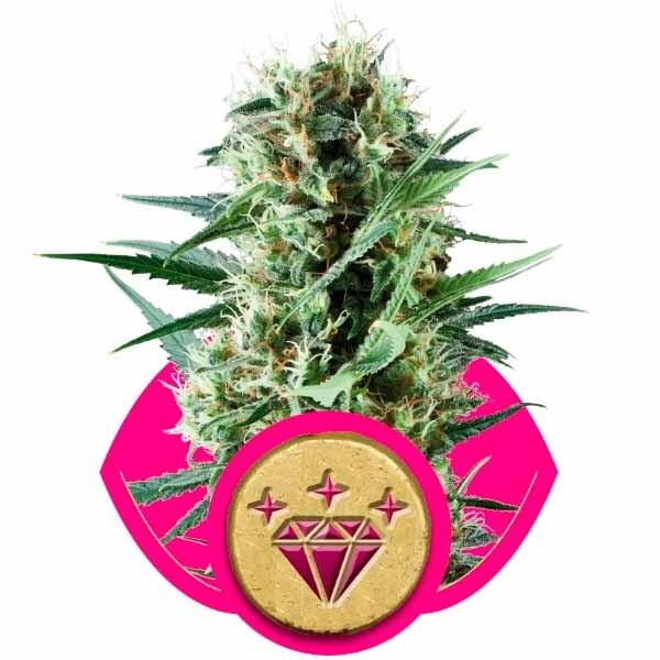 SPECIAL KUSH #1 - Royal Queen Seeds - Seed Banks