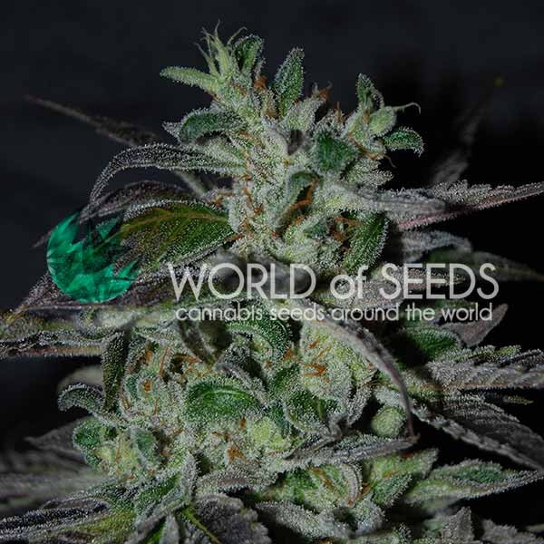 Strawberry Blue Early Harvest - World of Seeds - Seed Banks