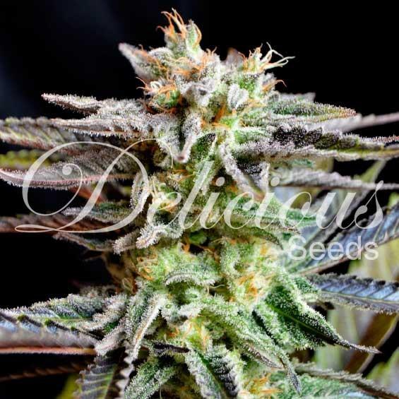 Sugar Black Rose - Delicious Seeds - Seed Banks