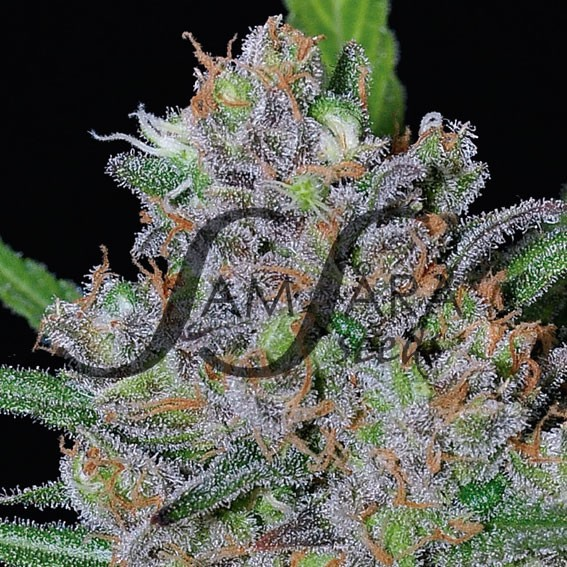 Sweet Black Angel - FEMINIZADAS - Samsara Seeds