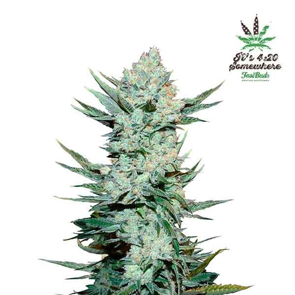 TANGIE'MATIC - FastBuds - Seed Banks