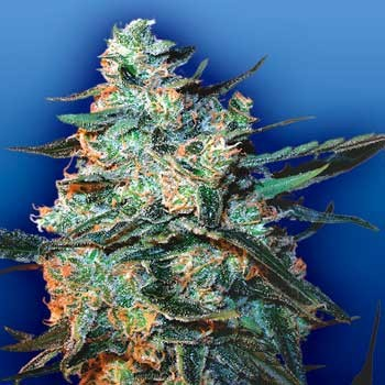 Feminized Mix  - 5 seeds - Flying Dutchmen - Seed Banks