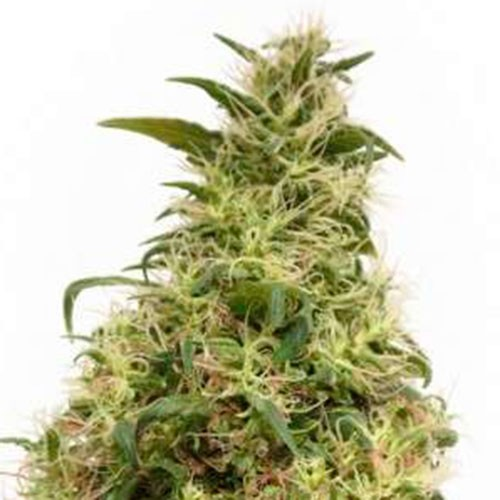 THC-VICTORY - Dutch Passion - Seed Banks