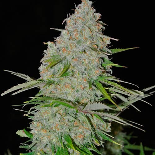 Ultimate AK - 3 seeds - Sumo Seeds - Seed Banks