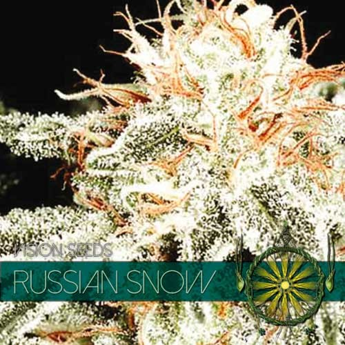 RUSSIAN SNOW - Vision Seeds - Seed Banks