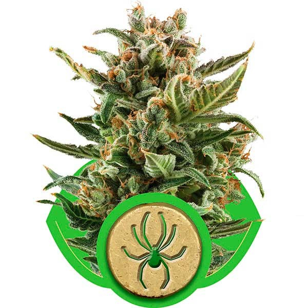 White Widow Automatic - Royal Queen Seeds - Seed Banks
