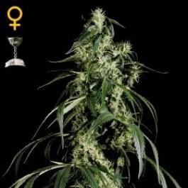 ARJAN´S HAZE #1 - Samsara Seeds - GreenHouse