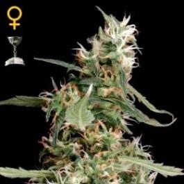 ARJAN´S ULTRA HAZE #1 - Samsara Seeds - GreenHouse