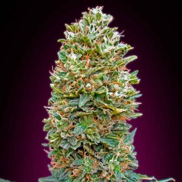 Bubble Gum - 5 seeds - Samsara Seeds - 00 Seeds