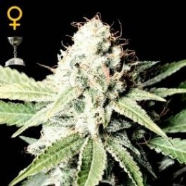 GREAT WHITE SHARK - Samsara Seeds - GreenHouse