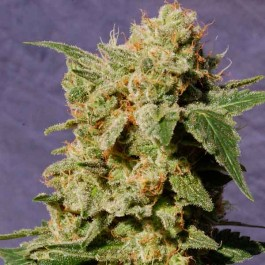 BCN Diesel - Samsara Seeds - Kannabia