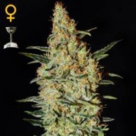 NEVILLE´S HAZE - Samsara Seeds - GreenHouse
