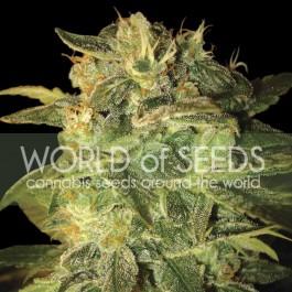 SUGAR MANGO RYDER  - Samsara Seeds - World of Seeds