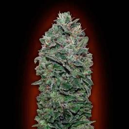 Sweet Soma - 5 seeds - Samsara Seeds - 00 Seeds