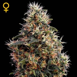 Sweet Mango Auto - Samsara Seeds - GreenHouse