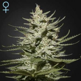 The Church CBD - Samsara Seeds - GreenHouse