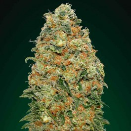 White Widow - 5 seeds - Samsara Seeds - 00 Seeds