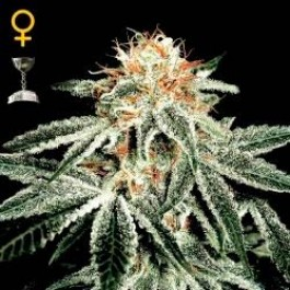 WHITE WIDOW - Samsara Seeds - GreenHouse