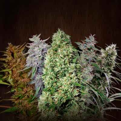 Ace Mix - Ace Seeds - Seed Banks