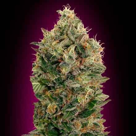 Auto Black Diesel  - Advanced Seeds - Seed Banks