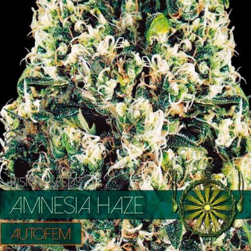 AMNESIA HAZE AUTO - Vision Seeds - Seed Banks