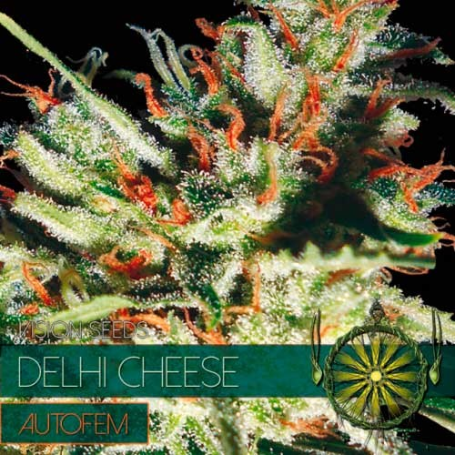 DELHI CHEESE AUTO - Vision Seeds - Seed Banks