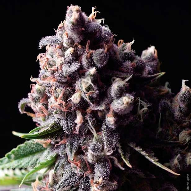 AUTO PURPLE - Pyramid Seeds - Seed Banks