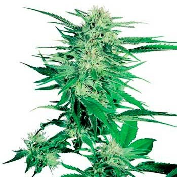 BIG BUD (SENSI SEEDS) - Sensi Seeds - Seed Banks