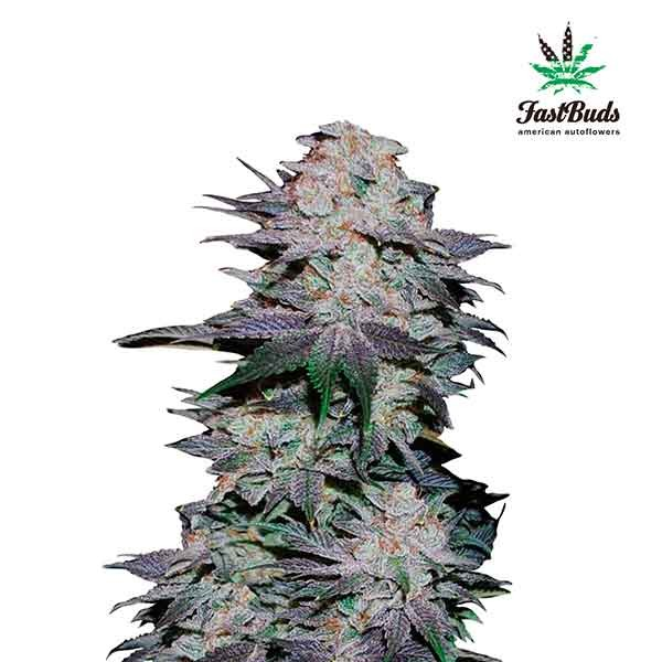 Blackberry - FastBuds - Seed Banks