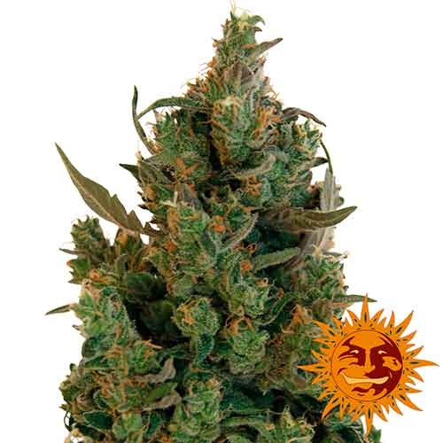 BLUEBERRY CHEESE - Barney's Farm - Seed Banks