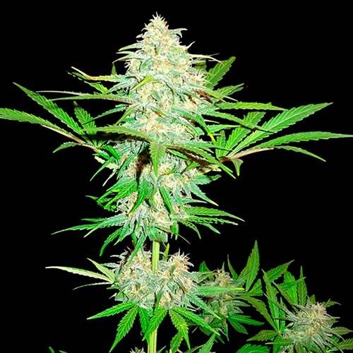 Cali Gangsta Kush - 3 seeds - Sumo Seeds - Seed Banks