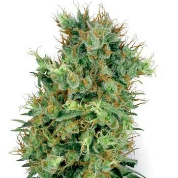 CALI ORANGE BUD REGULAR - 10 SEEDS (WHITE LABEL) - Sensi White Label - Seed Banks