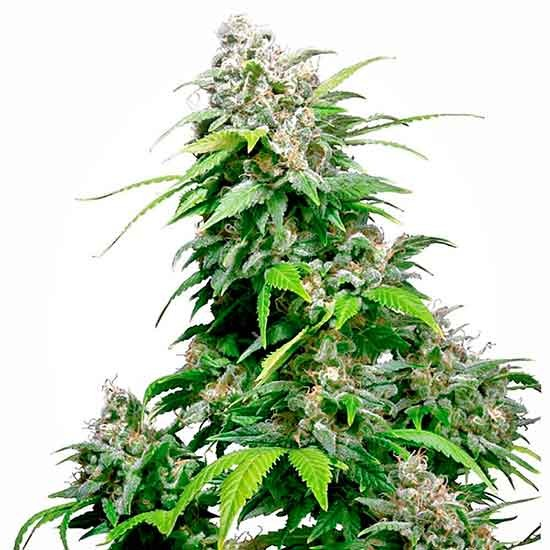 California Indica - Sensi Seeds - Seed Banks
