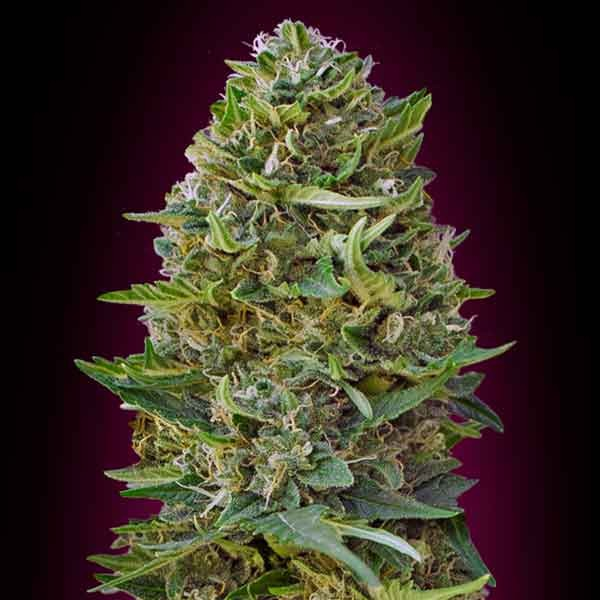 Caramel Kush - 5 seeds - 00 Seeds - Seed Banks