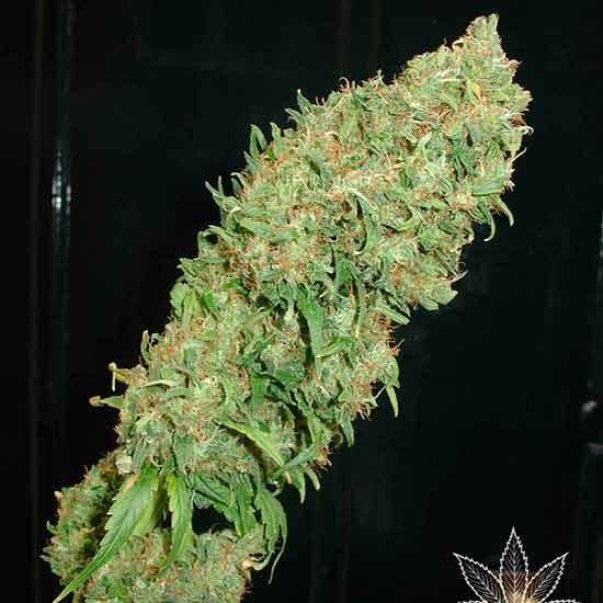 Caramella - 5 seeds - Fantaseeds - Seed Banks