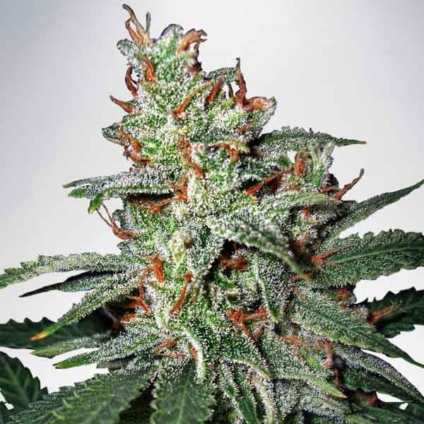 Carnival - Ministry of Cannabis - Seed Banks