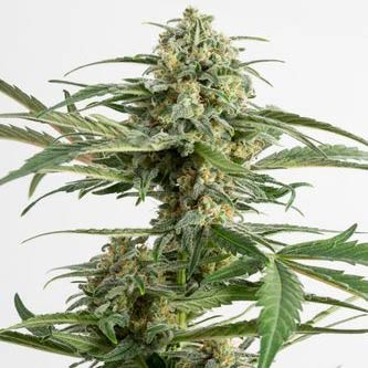 CRITICAL CHEESE AUTO - Dinafem - Seed Banks