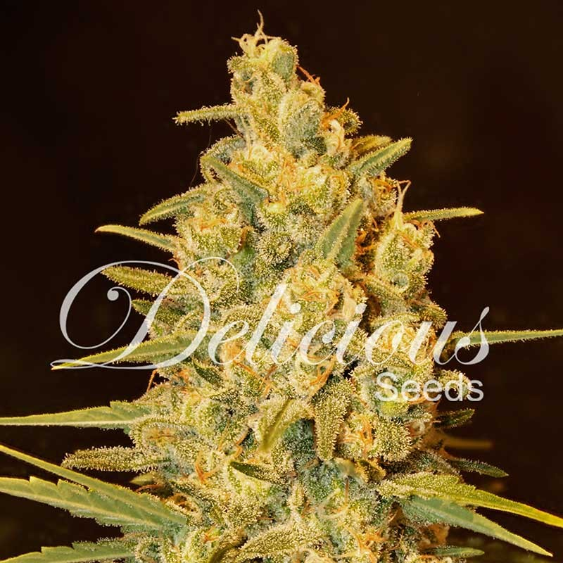 Critical Sensi Star - Delicious Seeds - Seed Banks