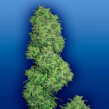 Dame Blanche - 5 seeds - Flying Dutchmen - Seed Banks