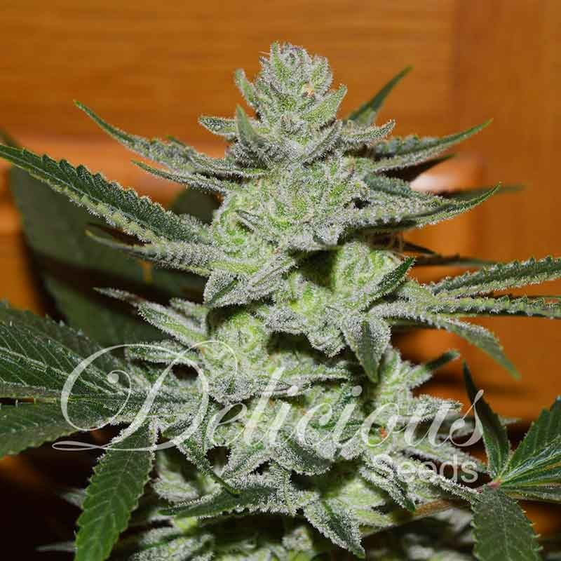 Unknown Kush - Delicious Seeds - Seed Banks