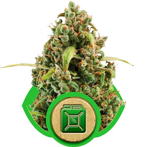 Diesel Automatic - Royal Queen Seeds - Seed Banks