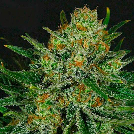 DOUBLE GLOCK - Ripper Seeds - Seed Banks